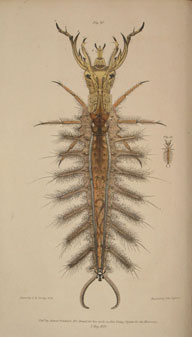 Larva of a species of British Hydrophilus, or Water Lover