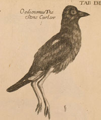 Stone Curlew from TAB.LVIII, called a 'distorted horror' by Charles Raven (p.322)