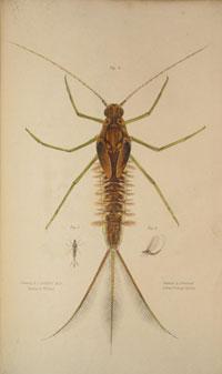 Larva of the Ephemera Marginata