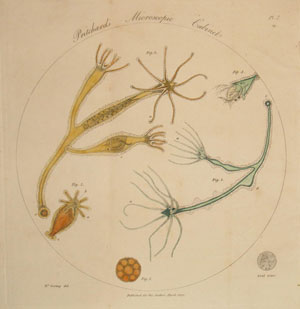 This frontispiece from The microscopic cabinet 'exhibits a magnified view of a group of polype in different states of contraction, with their prey within them; a small circle shows them of the real size'
