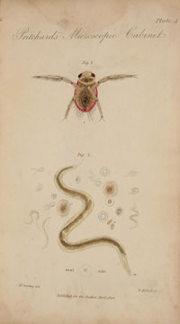 'Notonecta or boatfly' (fig 1) together with a magnified view of a 'mature animalcule'