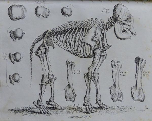 Cuvier Elephant