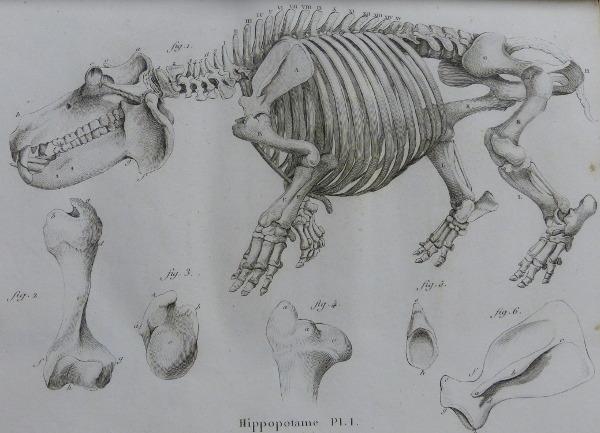 Cuvier Hippo