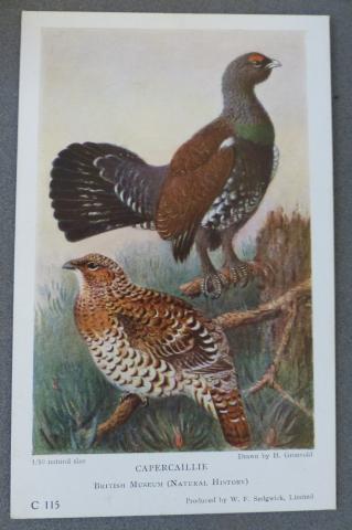 Capercaillie postcard