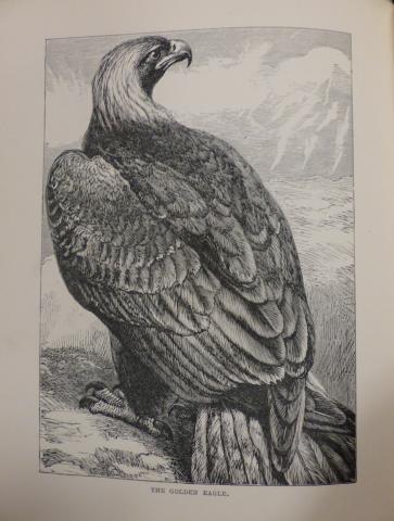 Woods golden eagle