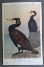 Cormorant postcard