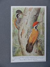 Tickells woodpecker